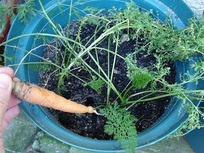 El cultivo de la zanahoria en maceta
