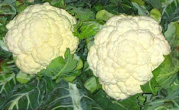 El cultivo de la coliflor en maceta.